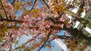相模原・町田・八王子で自然素材の健康住宅を提供する相陽建設の近所の河津桜、もう葉桜でした