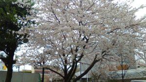 相模原・町田・八王子で自然素材の健康住宅を提供する相陽建設の桜