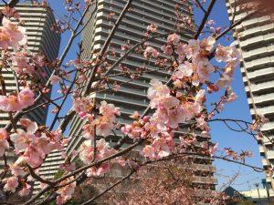 相模原・町田・八王子で自然素材の健康住宅を提供する相陽建設の近所では、2018年も早咲きの河津桜が開き始めました