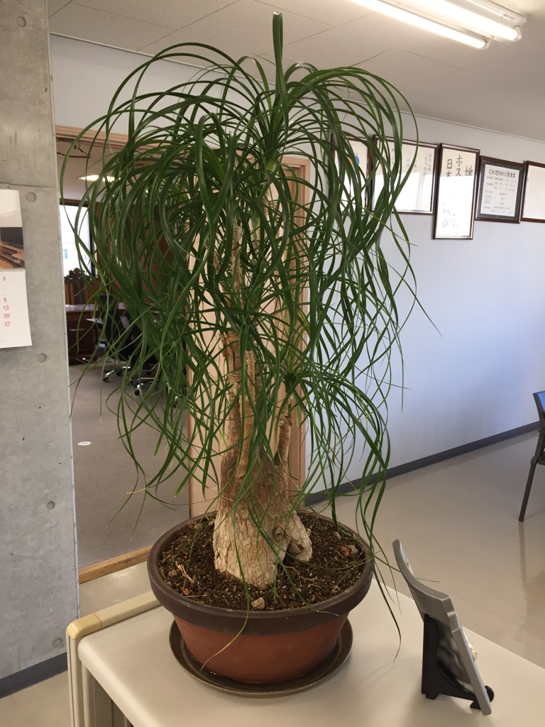 相模原・町田・八王子で自然素材の健康住宅を提供する相陽建設のど根性観葉植物