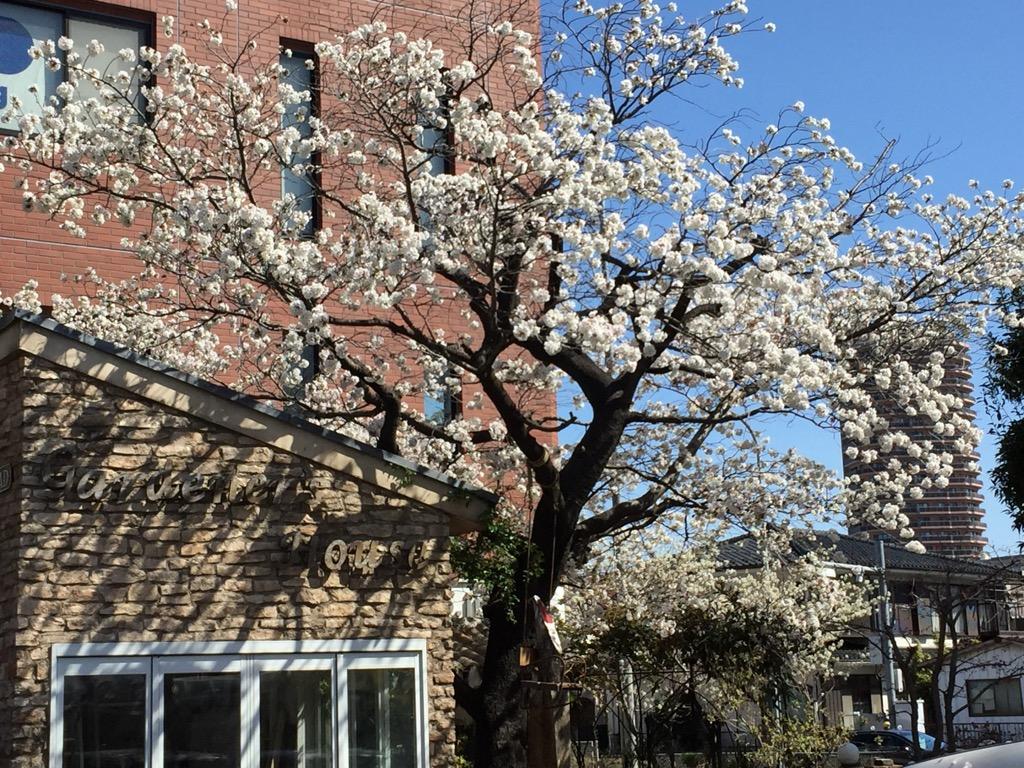 相模原・町田・八王子で自然素材の健康住宅を提供する相陽建設の桜の老木、2019年も無事に咲く