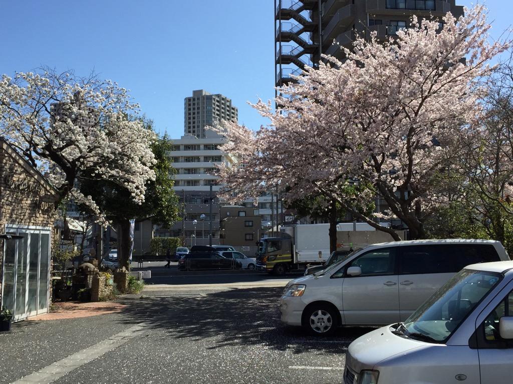 相模原市で自然素材の健康住宅を提供する相陽建設の桜、2本揃い踏み
